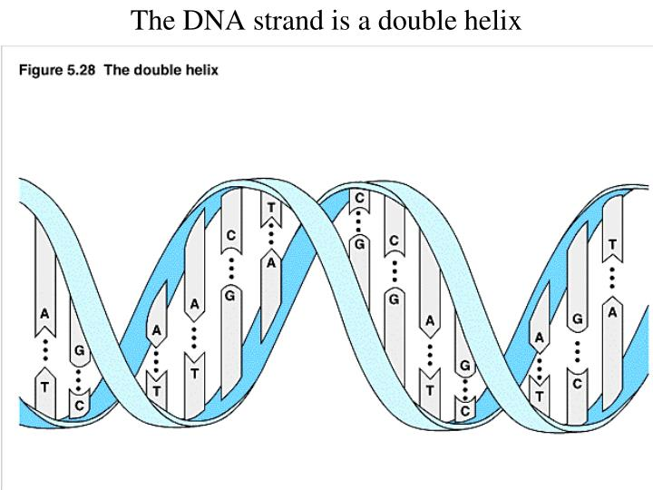 The DNA strand is a double helix