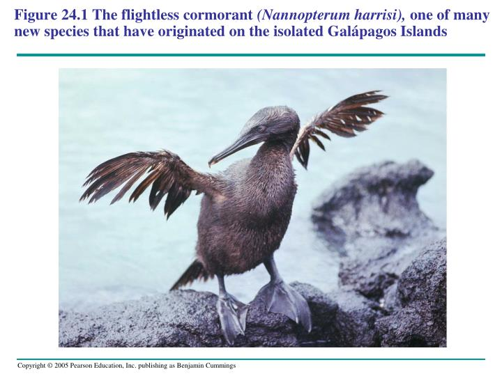 Figure 24.1 The flightless cormorant