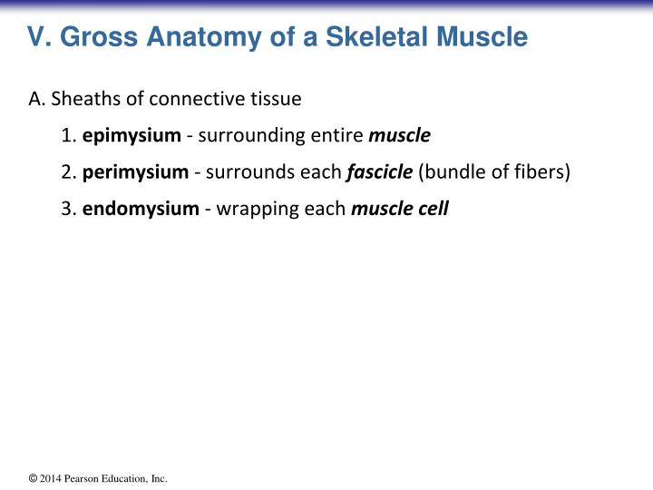 Ppt Skeletal Muscle Tissue Powerpoint Presentation Id6037354