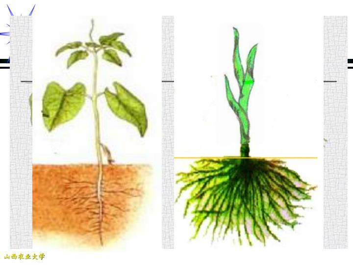 一 、茎与根的联系