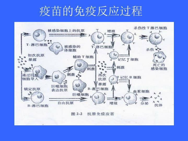 疫苗的免疫反应过程