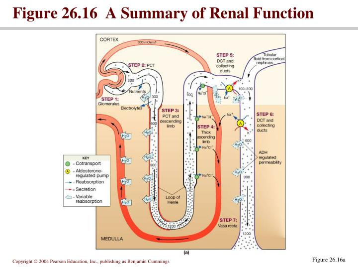 Figure 26.16  A Summary of Renal Function