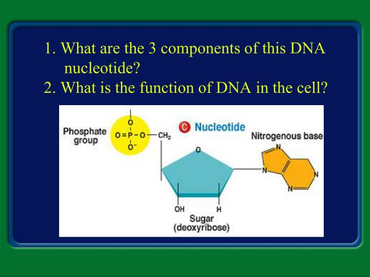 1 what are the 3 components of this dna nucleotide 2 what is the function of dna in the cell n.