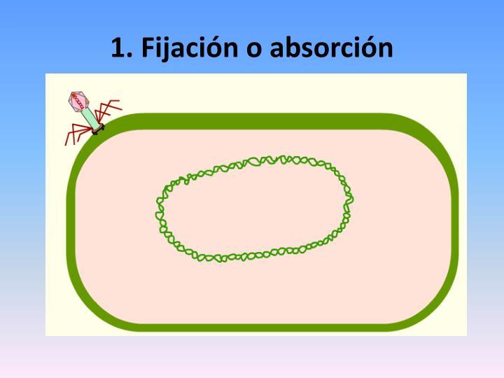 1. Fijación o absorción