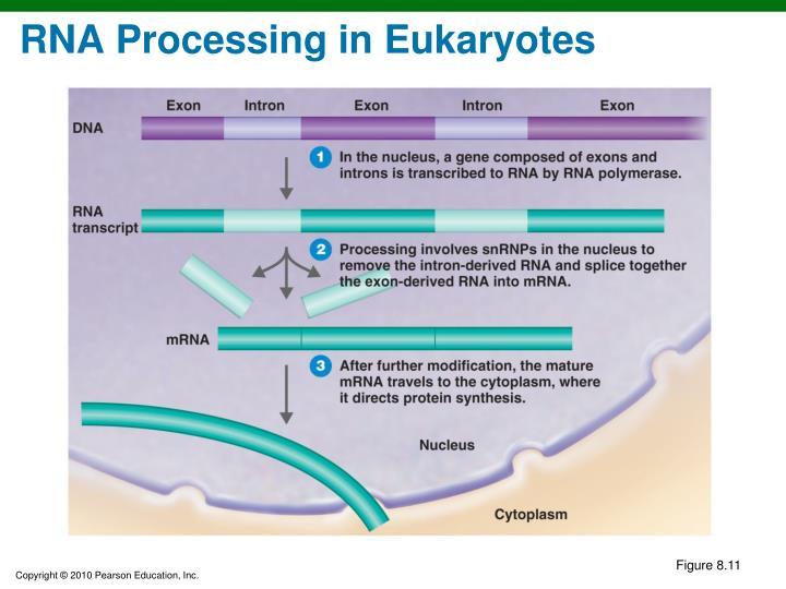 RNA Processing in Eukaryotes