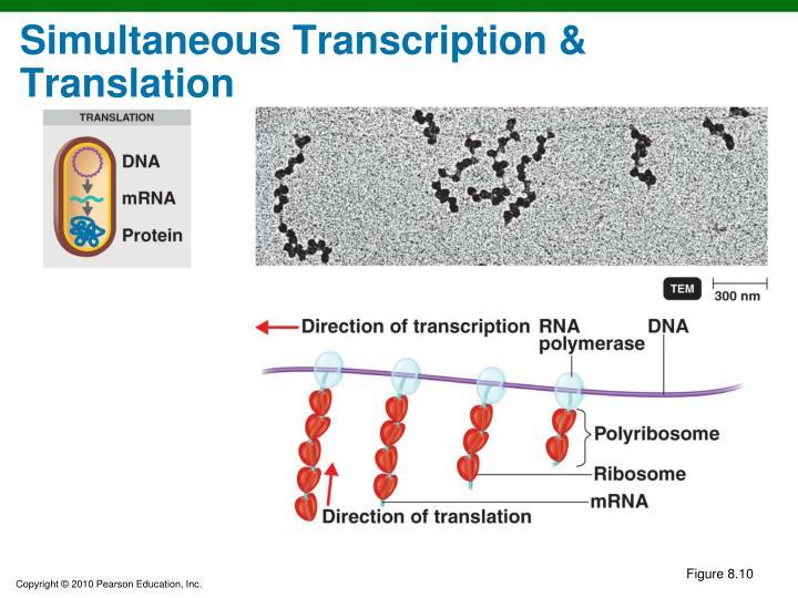 Simultaneous Transcription & Translation