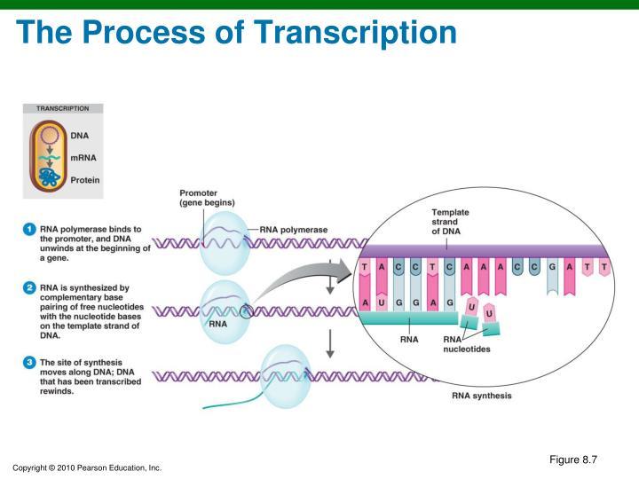 The Process of Transcription