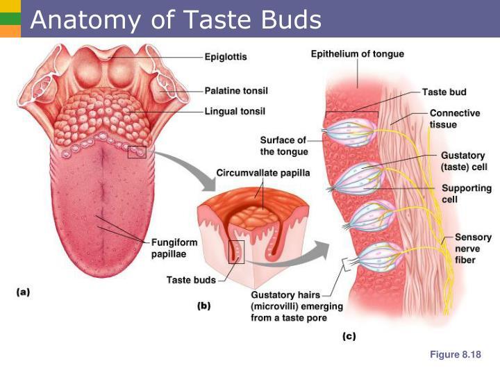 Anatomy of Taste Buds