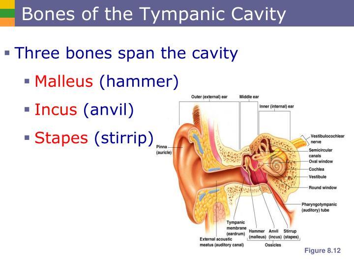 Bones of the Tympanic Cavity