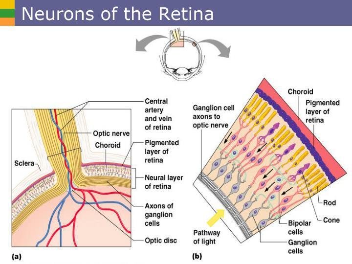 Neurons of the Retina