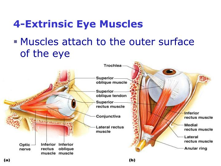 4-Extrinsic Eye Muscles