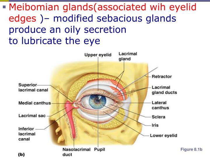 Meibomian glands(associated wih eyelid edges