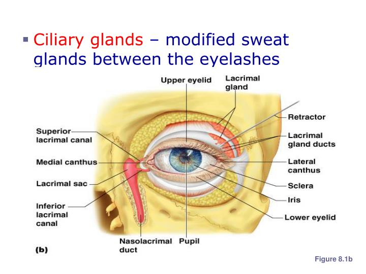 Ciliary glands