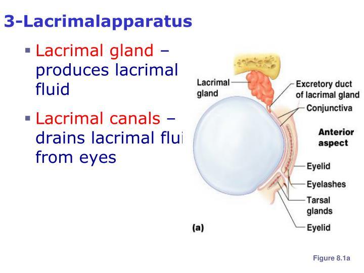 3-Lacrimalapparatus