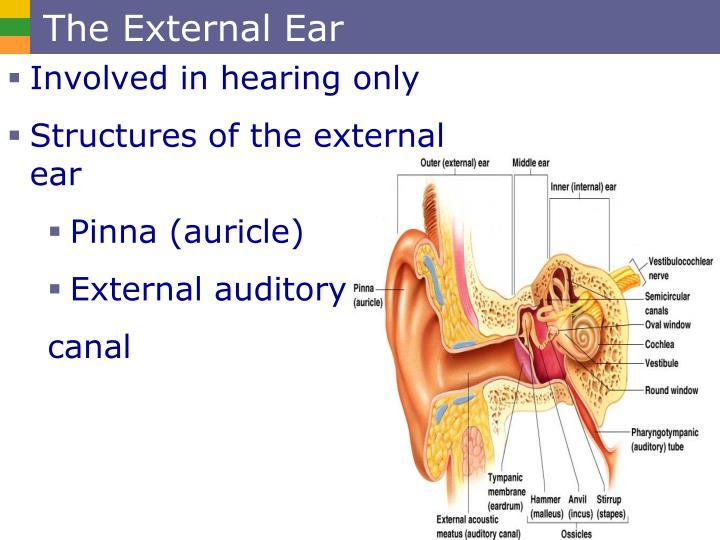 The External Ear