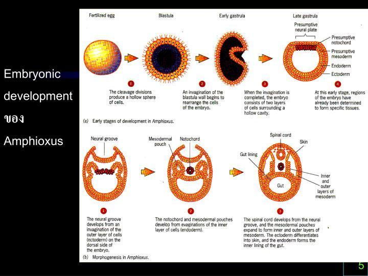 Embryonic development ของ