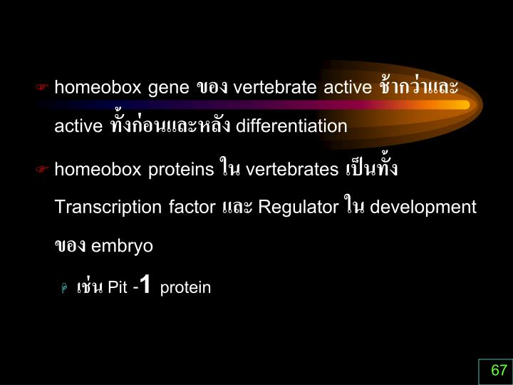 homeobox gene ของ vertebrate active ช้ากว่าและ active ทั้งก่อนและหลัง different