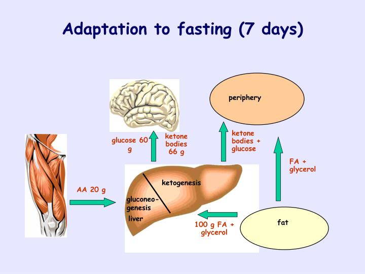 Adaptation to fasting (7 days)