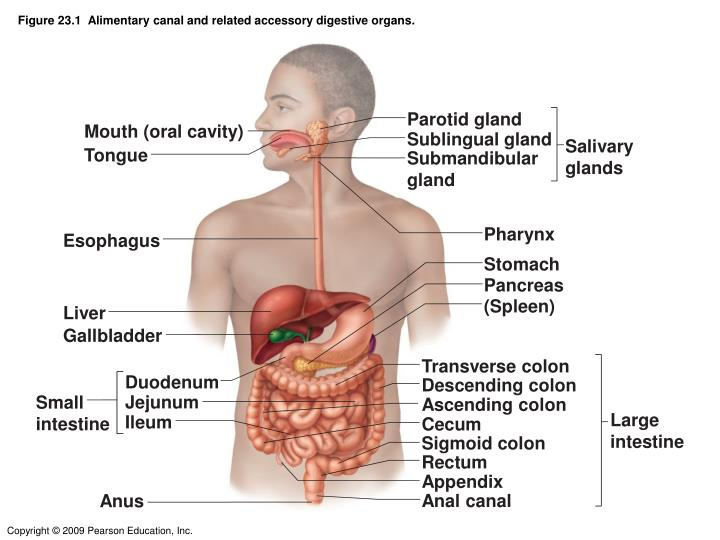 Ppt Figure 231 Alimentary Canal And Related Accessory Digestive