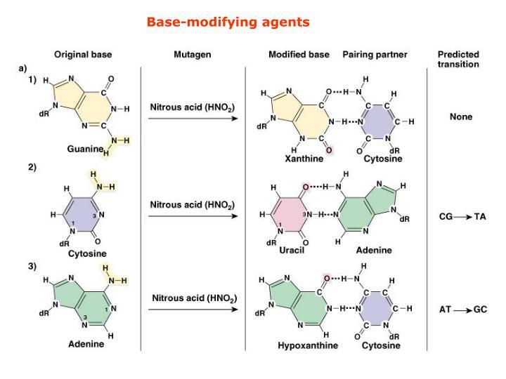 Base-modifying agents