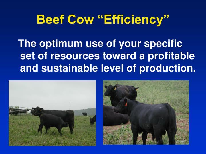 Beef cow efficiency