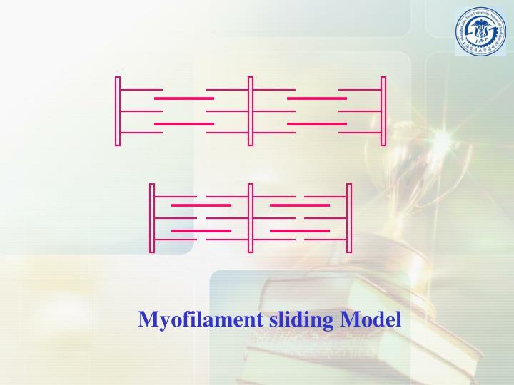 Myofilament sliding Model