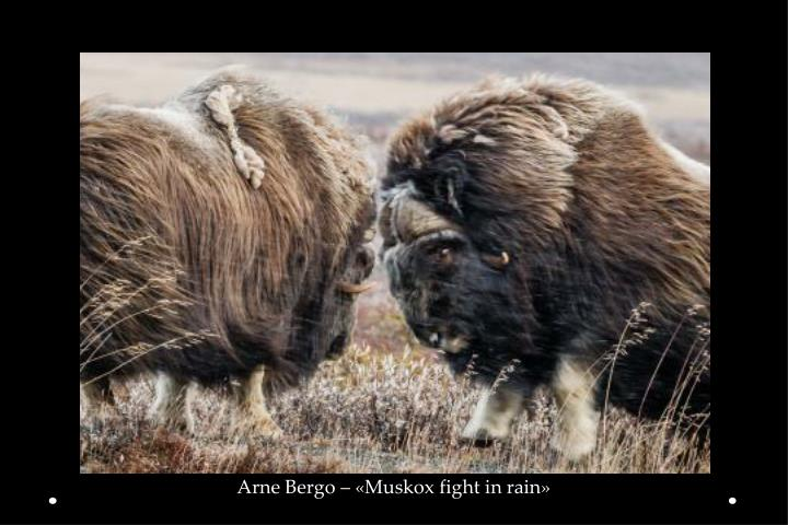 Arne Bergo – «Muskox fight in rain»