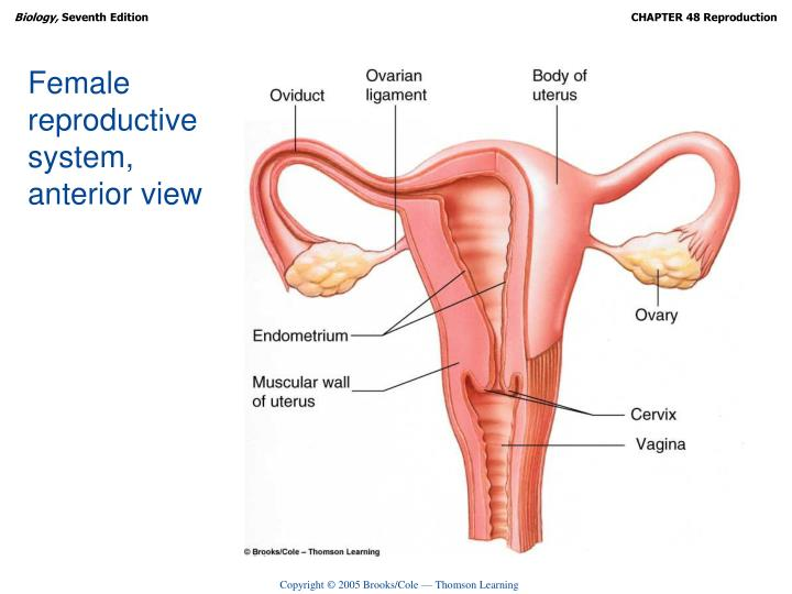 Female reproductive system,