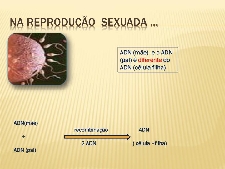 Na Reprodução  sexuada …