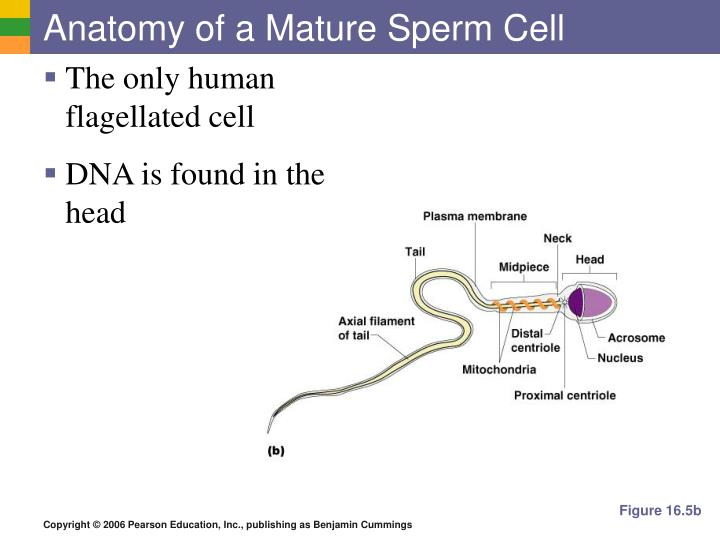 Ppt The Reproductive System Powerpoint Presentation Id6077797