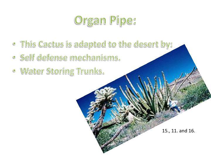 Organ Pipe:
