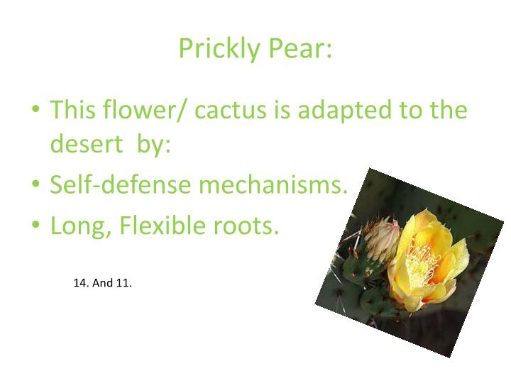 Prickly Pear: