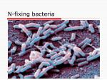 n fixing bacteria
