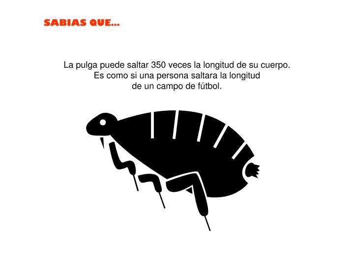 La pulga puede saltar 350 veces la longitud de su cuerpo.