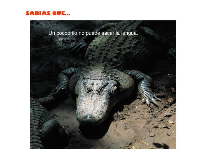 Un cocodrilo no puede sacar la lengua.