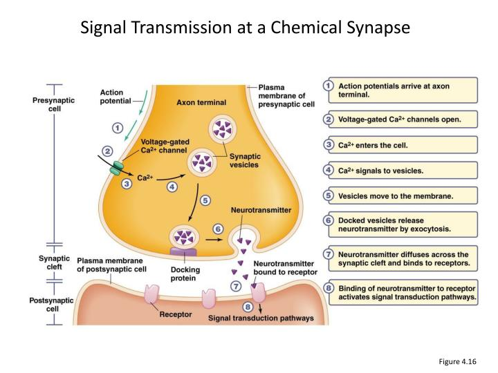 how do postsynaptic potentials synaptic transmission and receptors affect behavior C classification based on speed of chemical synaptic transmission 1 fast neurotransmission a postsynaptic receptor is a transmitter postsynaptic potentials.