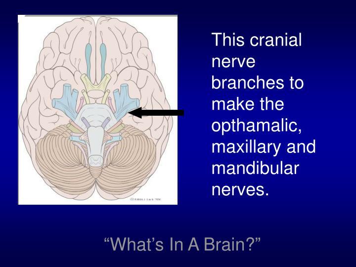 This cranial nerve branches to make the opthamalic, maxillary and mandibular nerves.