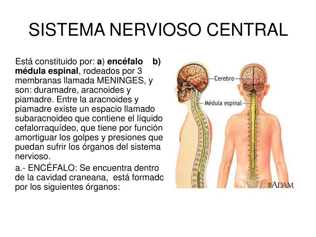 PPT - SISTEMA NERVIOSO CENTRAL PowerPoint Presentation - ID:6091460
