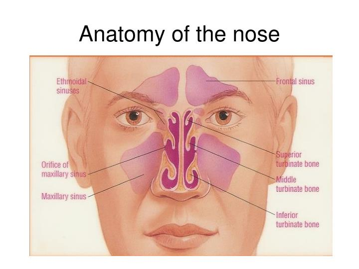 Ppt Anatomy Phisiology And Diseases Of The Nose And Paranasal