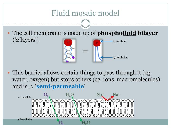 fluid mosaic model Read and learn for free about the following article: fluid mosaic model: cell membranes article.