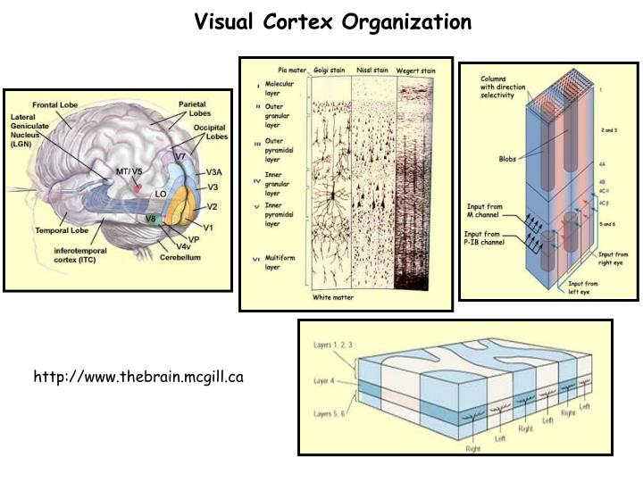 Visual Cortex Organization