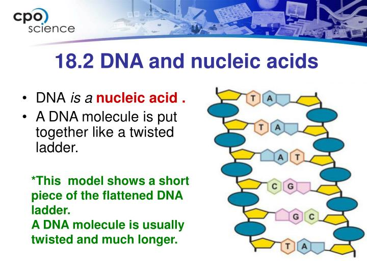 18.2 DNA and nucleic acids