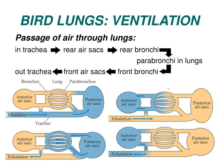 Passage of air through lungs: