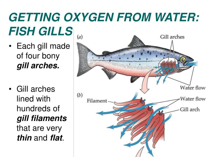 GETTING OXYGEN FROM WATER: FISH GILLS