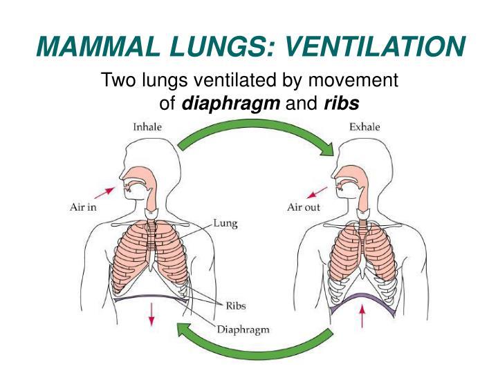 MAMMAL LUNGS: VENTILATION