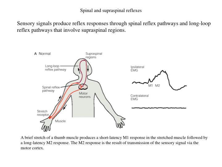 Spinal and supraspinal reflexes