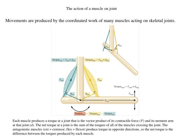 The action of a muscle on joint