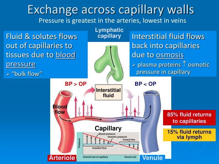 Exchange across capillary walls