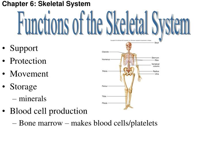 PPT - Chapter 6: Skeletal System PowerPoint Presentation - ID:6094141