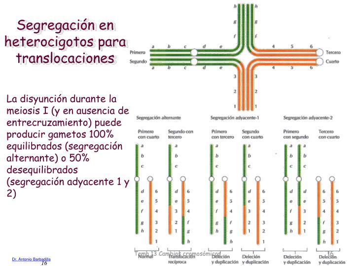Segregación en heterocigotos para translocaciones